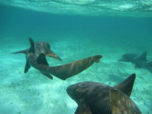 Nurse sharks off the coast of Belize by Oceana Belize staffer Abby Hernandez